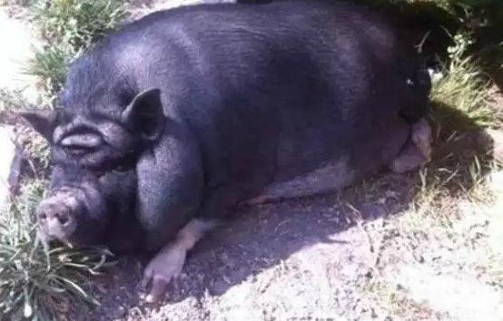 Pareidolia Yoda Pig